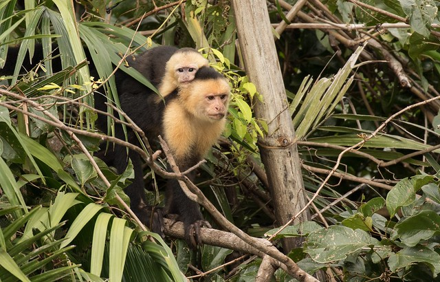 White-faced Capuchin Mother & youngster