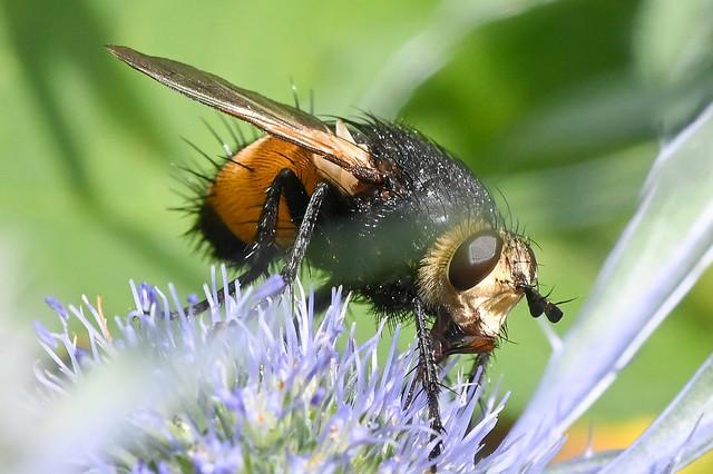 Tachinidae > Nowickia ferox