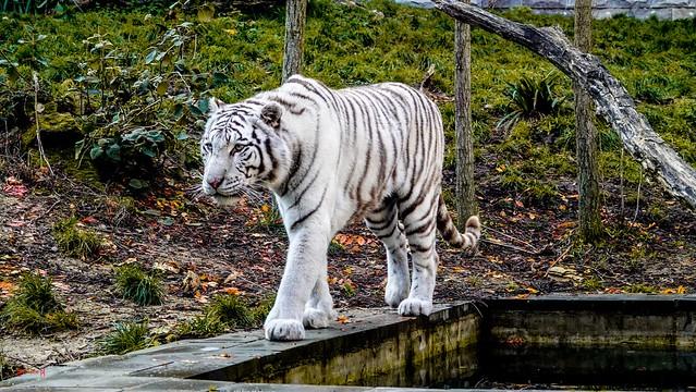 #Tiger - 7790