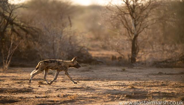 Wild Dog at Sunrise