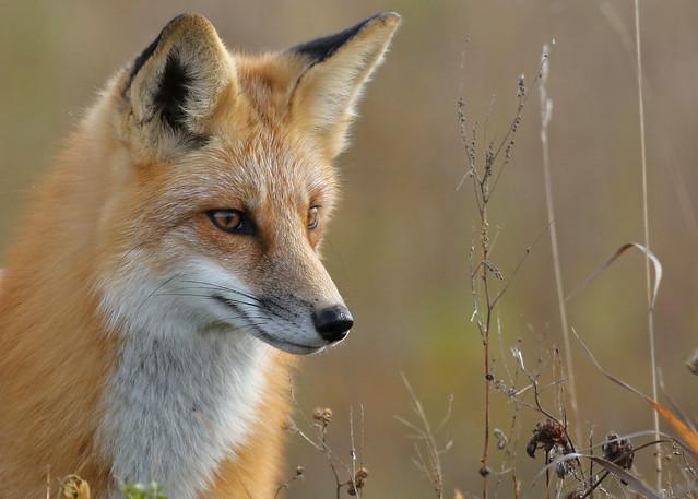 Red Fox...#87