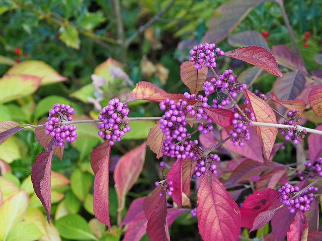 Berries of the Beautyberry in autumn.