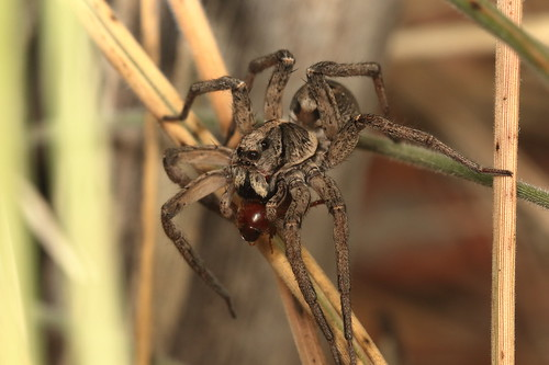 Wolf Spider with beetle