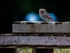 Little Owl, Nr Bristol. Summer 2019