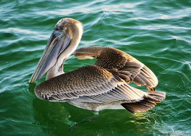 Juvenile Brown Pelican (Pelecanus occidentalis)