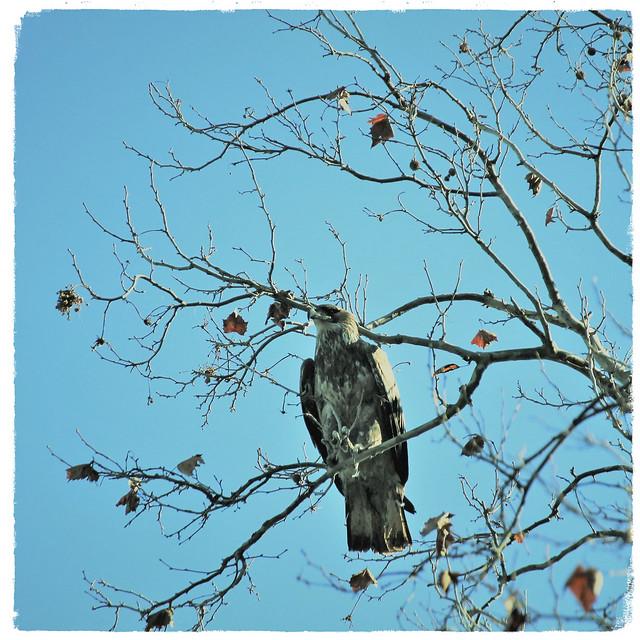 Conowingo Dam ~ Juvenile Eagle