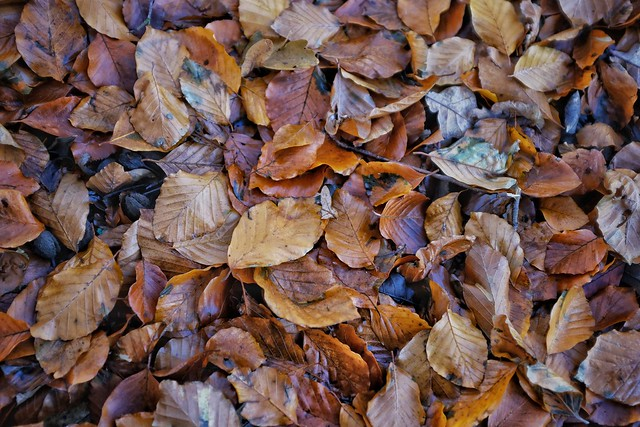 A Carpet of Beech Leaves.