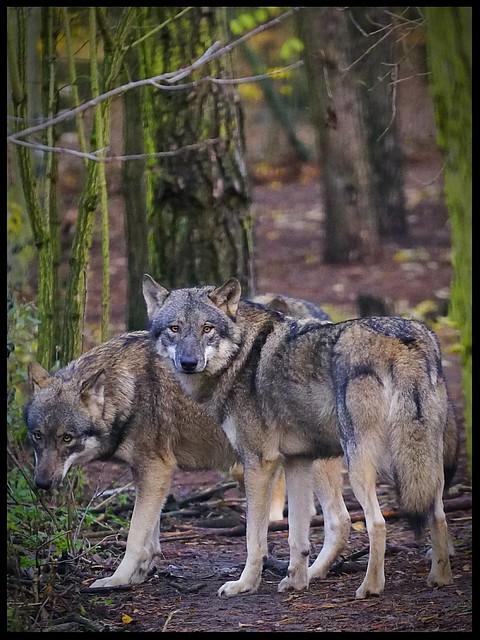 Wölfe // Wolves