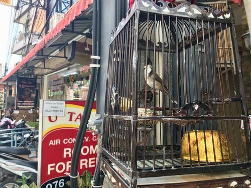 Caged bird, Patong