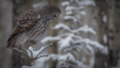 Great Gray Owl  (由  Pauls Outdoors