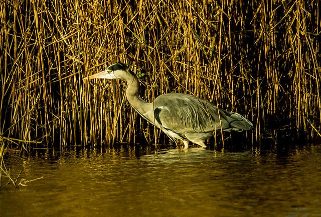 Grey Heron - Ardea cinerea _A7A5254