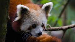 Red panda in Darjeeling zoo