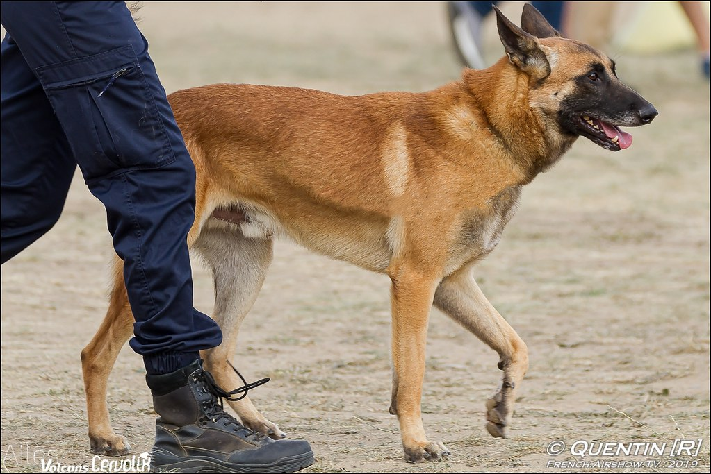 Photo canin malinois chien gendarme dog