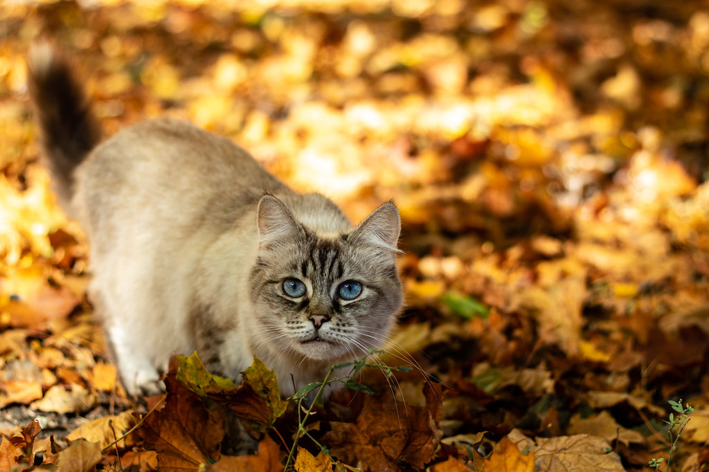 blue-eyed in yellow leaves