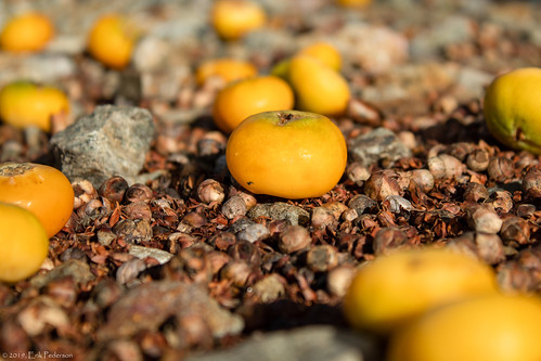 orange fruit palmfruit fibrous groundview depthoffield crazytuesday outside