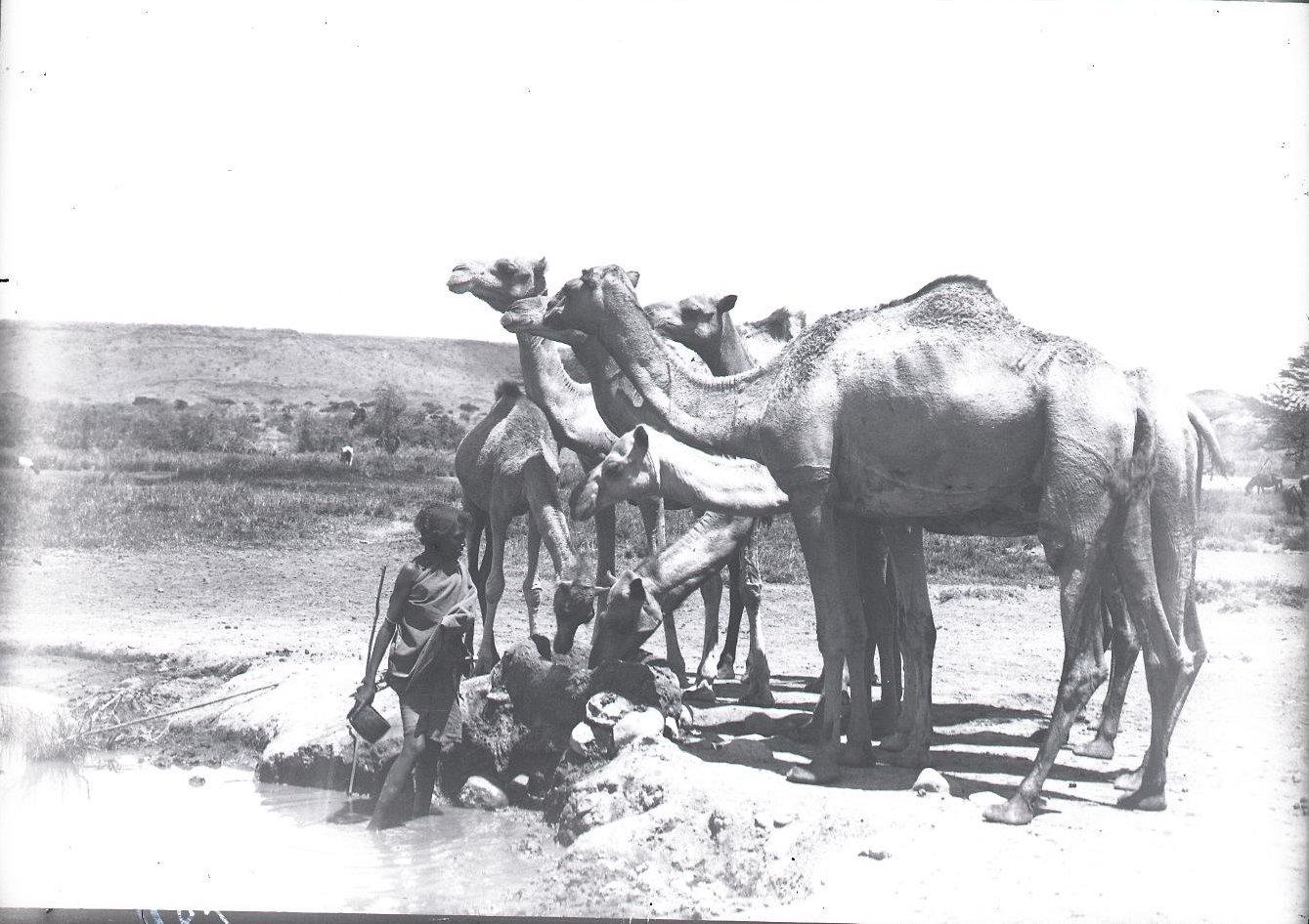 684. 1899. Фале. Верблюды на водопое
