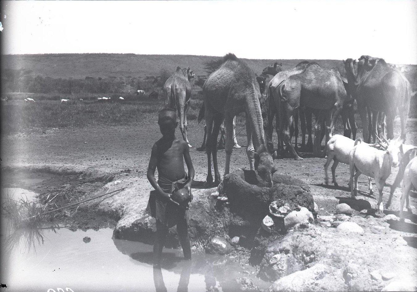 682. 1899. Фале. Верблюды на водопое