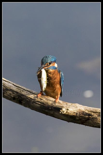 IMG_0090 Kingfisher