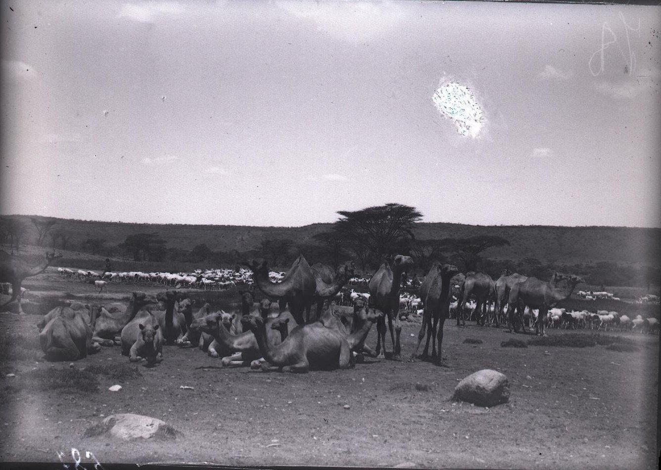 687. 1899. Фале. Караван верблюдов