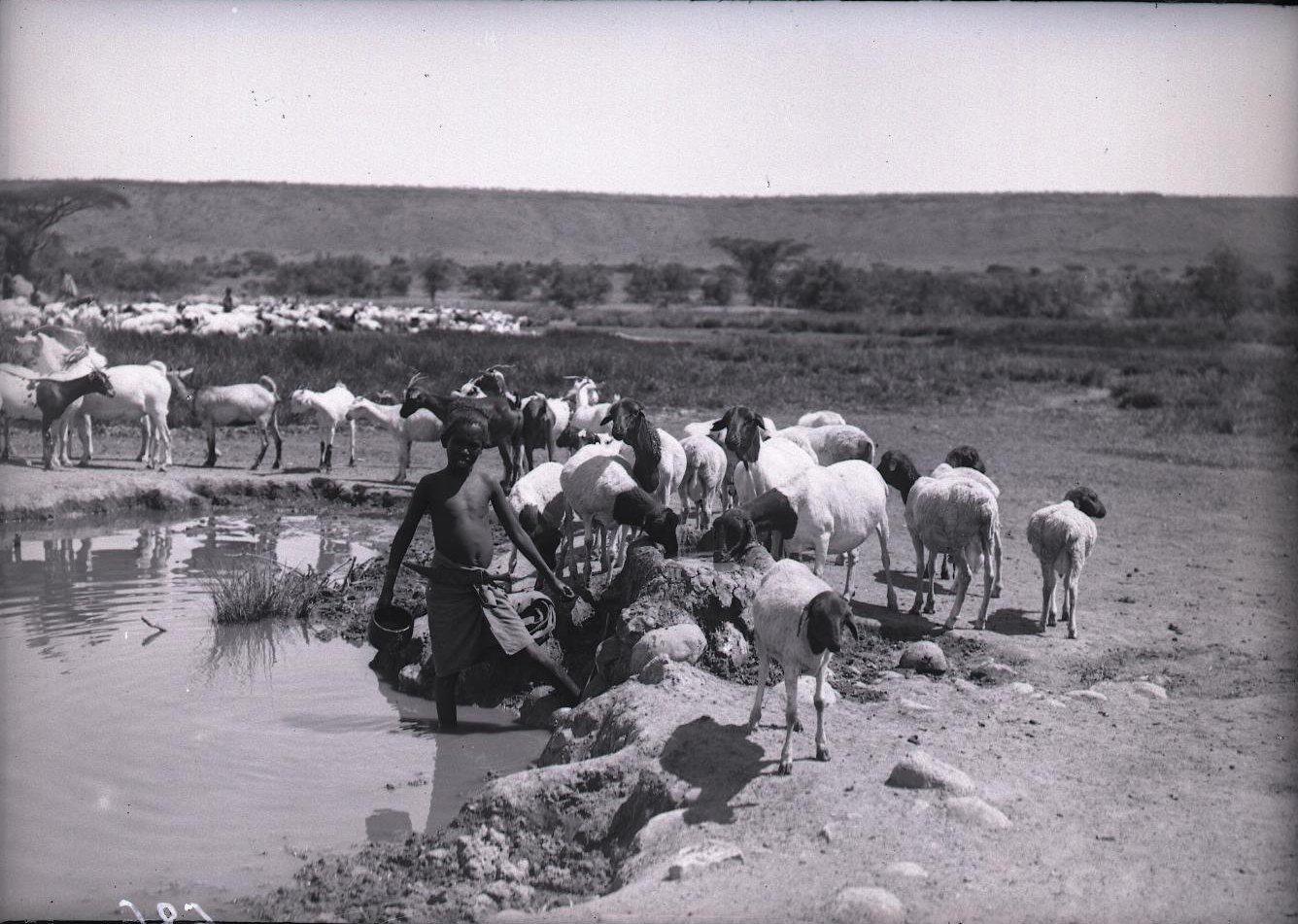 686. 1899. Фале. Бараны на водопое
