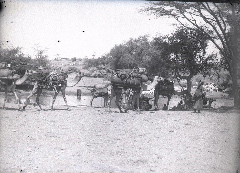 674. Данакильская пустыня. Верблюды с поклажей