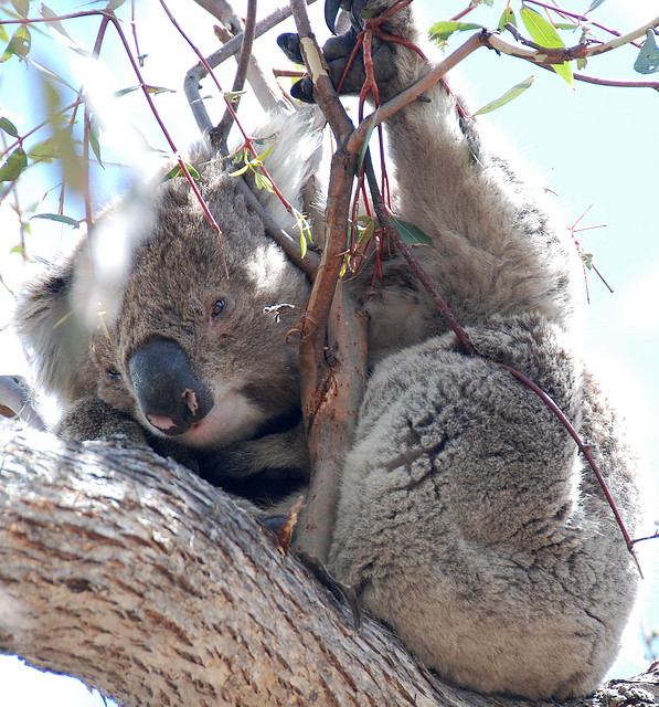 Downtime Down Under - Just Wild About Koalas on Raymond Island!