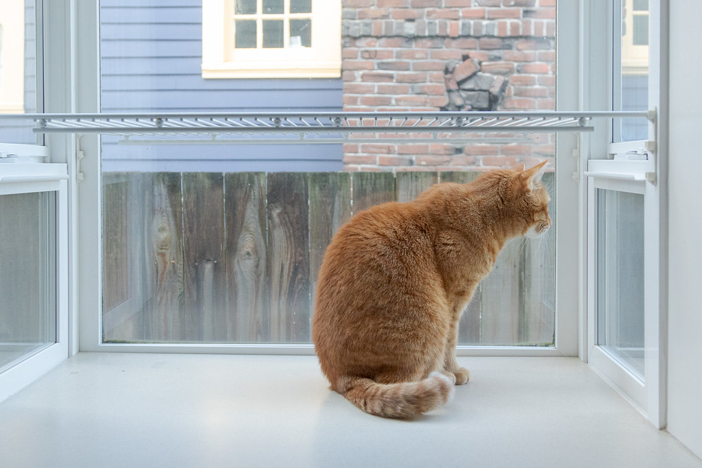 Our cat Sam looks out the window of the windowed section of the kitchen of our house in Portland, Oregon on Halloween in October 2014