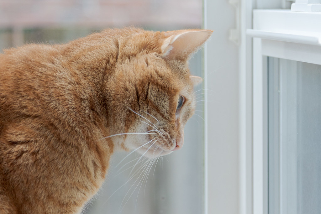 A close-up of our cat Sam looking out the kitchen windows of our kitchen of our house in Portland, Oregon on Halloween in October 2014