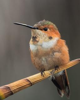 Allen's Hummingbird !