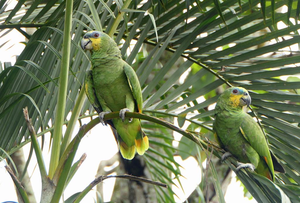 Lora Cariamarilla, Orange-winged Amazon, Orange-winged Parrot (Amazona amazonica)