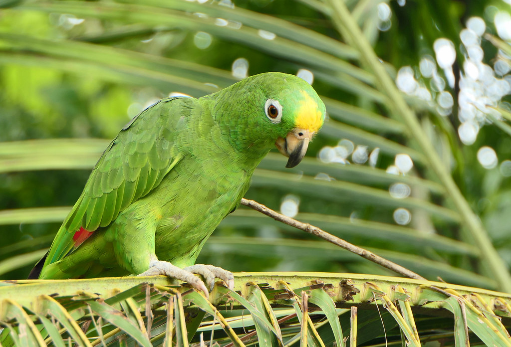 Lora Común, Yellow-crowned Parrot (Amazona ochrocephala)