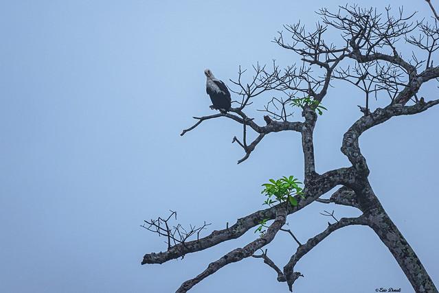 AQUILA URLATRICE    ----    AFRICAN FISH EAGLE
