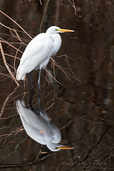 Reflection of an Egret