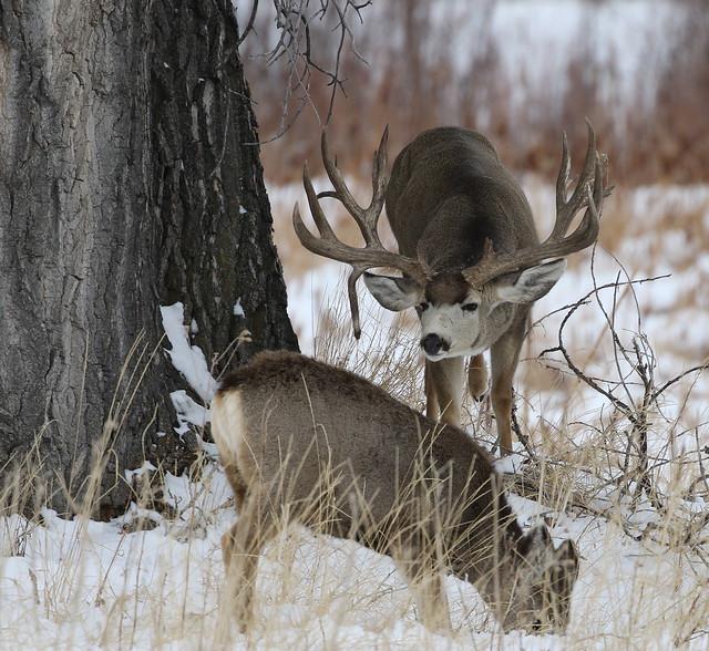 Big Drop Tine Mule Deer Buck Approaching A Doe