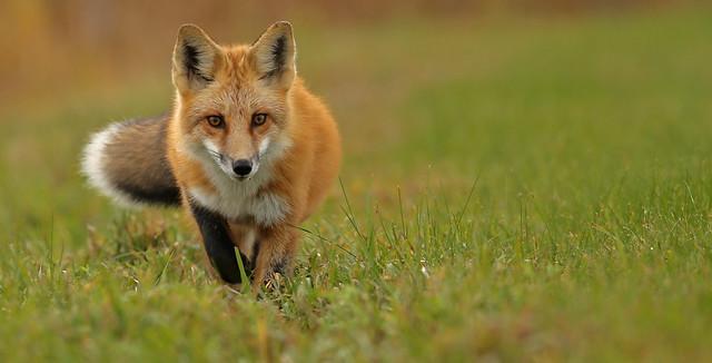 Red Fox...#122