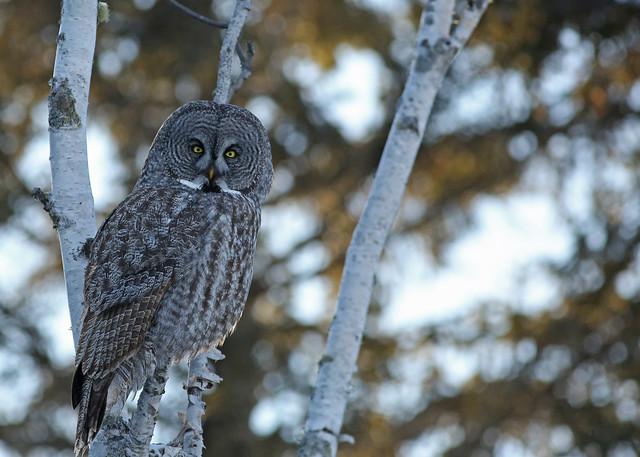 Great Gray Owl...#41