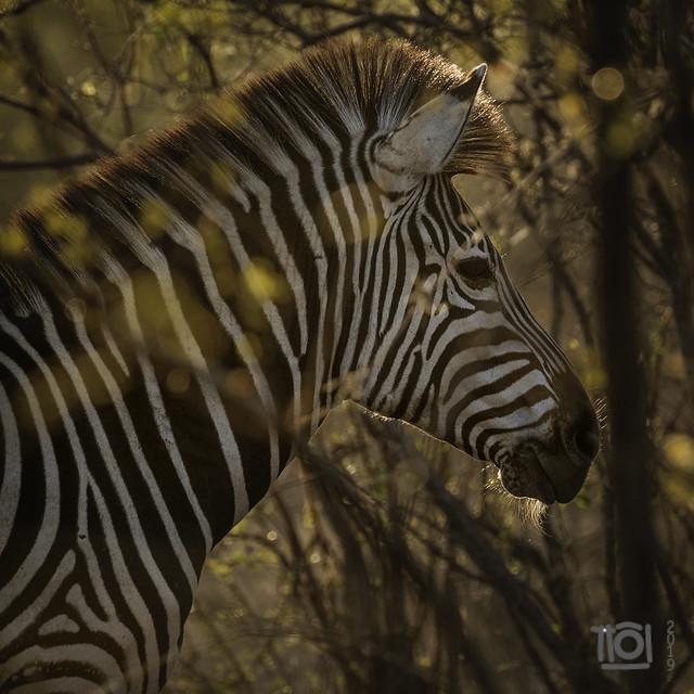Sunrise zebra