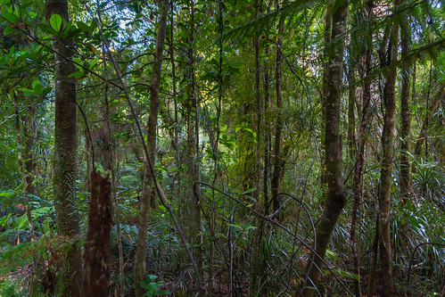 kauriforest nz newzealand northland waipouaforest bush forest neartanemahuta stream