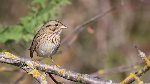 lincolnssparrow lincolns sparrow melospizalincolnii melospiza lincolnii
