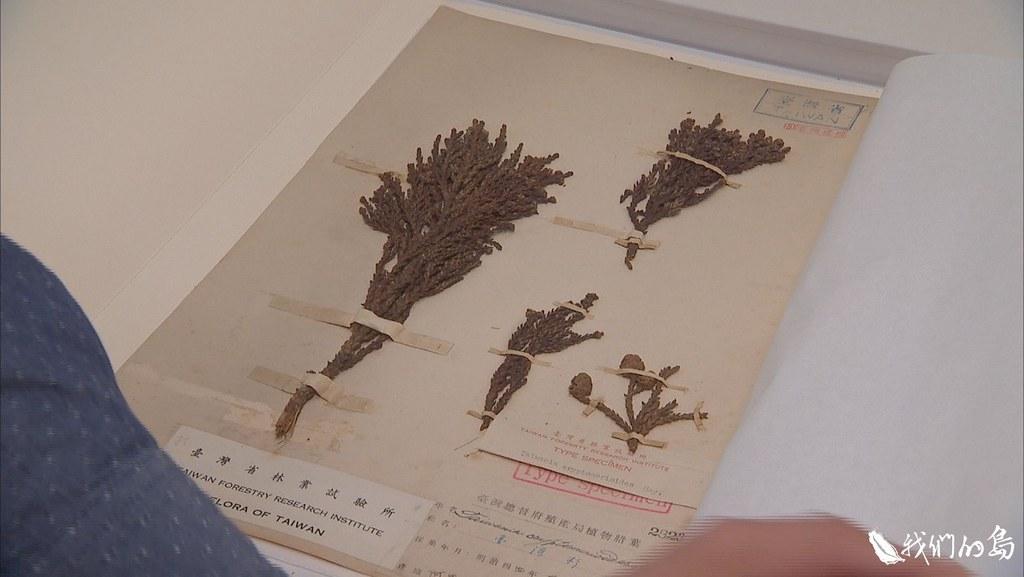 日治時期台灣杉植物採集。