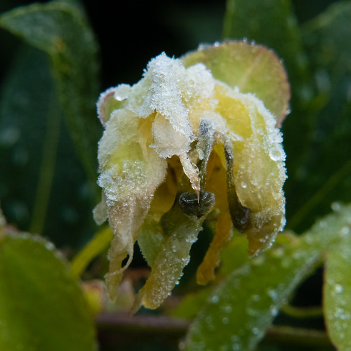 Passion flowers, frosted
