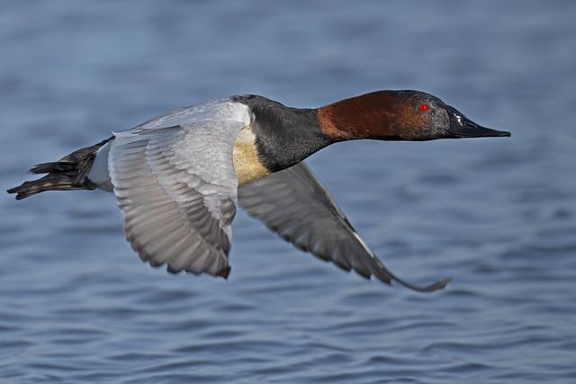 Male Canvasback Duck