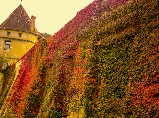 The beauty of changing nature. The creeping plants during Autumn season.