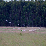 brolgas & sheep
