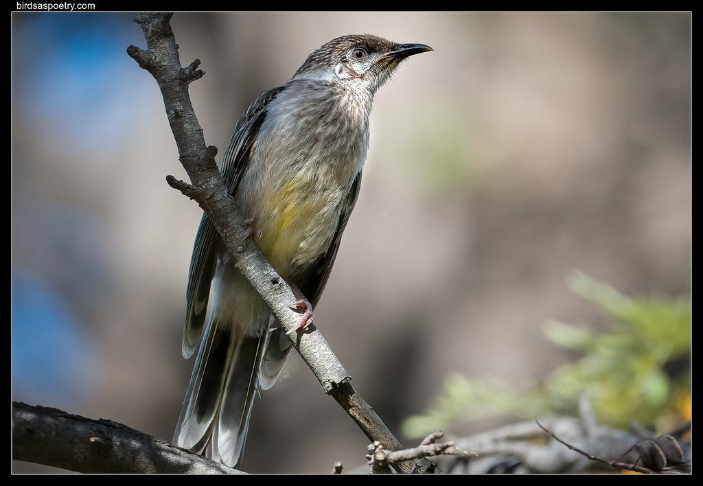 Red Wattlebird: Juvenile