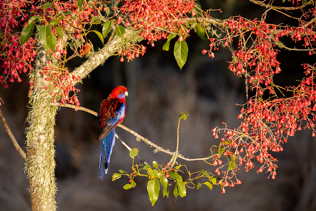 Sunrise Garland for Crimson Rosella