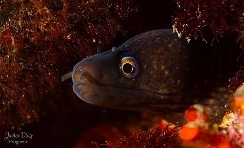 Moray Eel (en). Morena (es). Cala D'or. Balearic Islands. Spain.