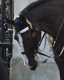 Changing of the guards.   London, England    #changingoftheguards #cityoflondon #london_city_photo #london #city #londonphotography #londonlife #horsebreeding #horse #clevelandbay #darkbrownhorse #inthelineofduty #bridle #uniform #workinghard #UK #england