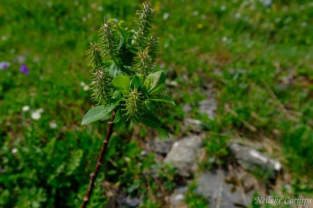 Salix hastata
