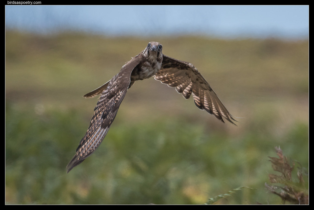 Brown Falcon: Out of the Bracken